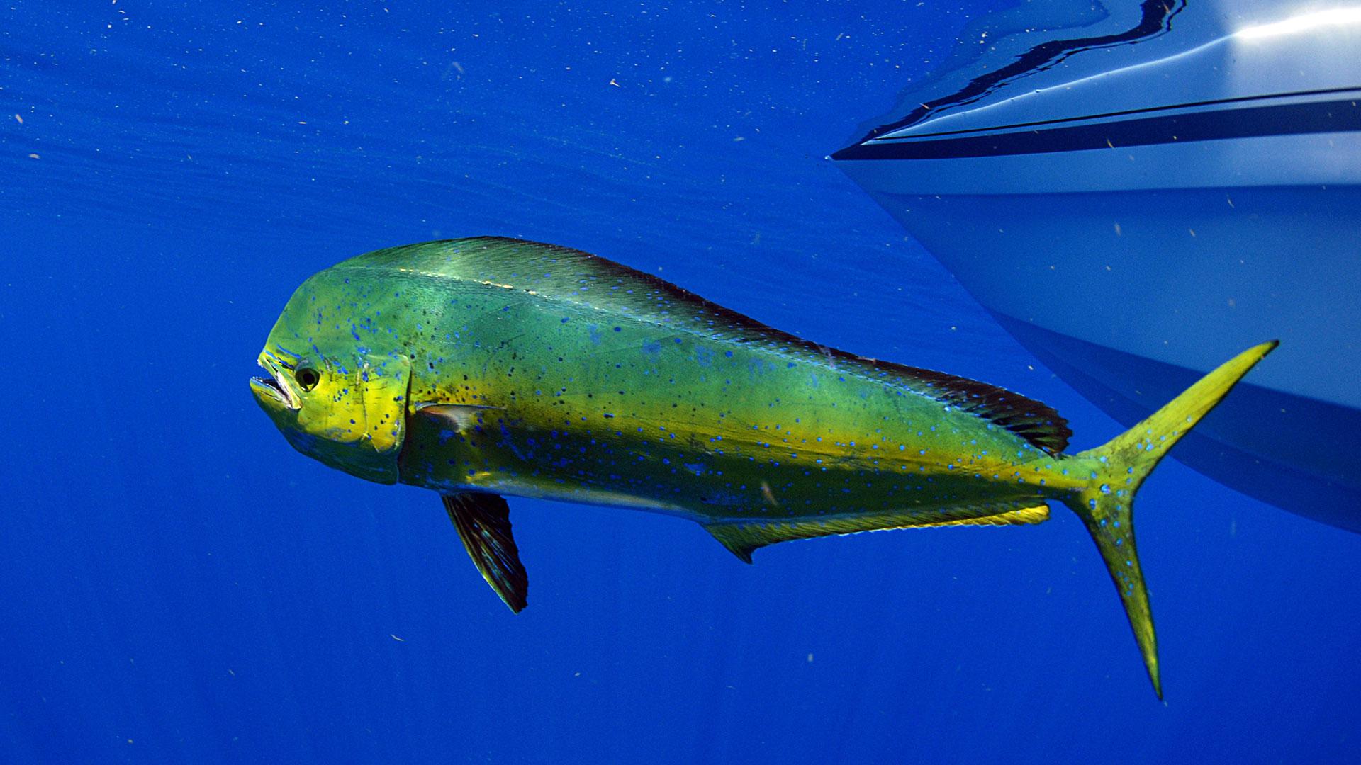 Mahi-Mahi Fishing Tips